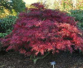 Acer-palmatum-Garnet-global-picture-of-the-shrub