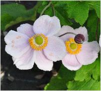 Anemone hybrida 'Richard Ahrends'