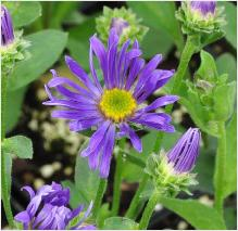 Aster amellus Blue King'