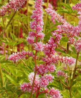 Astilbe-arendsii-catleya- pinkish-red-flowers