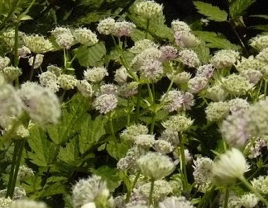 Astrantia- major- zeeuws-knoopje- white-flowers-