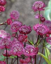 Astrantia major 'Gill Richardson'