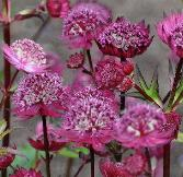 Astrantia major 'Gill Richardson' VN