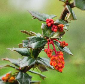 Berberis-x-lologensis-Mystery-Fire-april-2012-