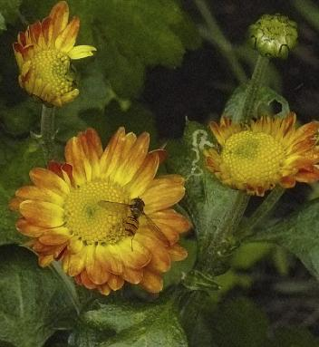 Chrisanthemum-Dernier-Soleil- orange-yellow-flowers-september