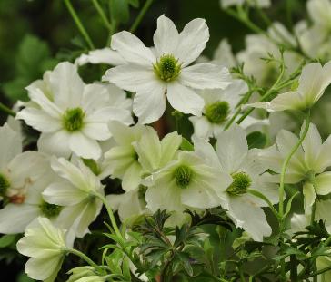 Clematis 'Early Sensation' Closeup vn