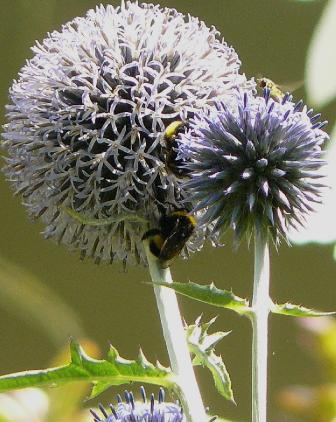 Echinops-ritro-veitch-blue-flower- hummble bee- closeup
