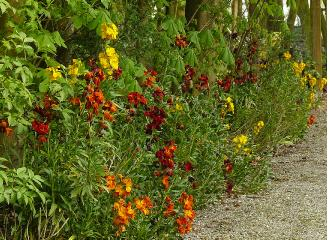 Erysimum-border-colour-mix