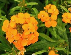 Erysimum x allionii closeup