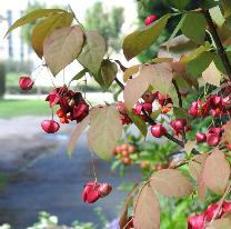 EuonymusPlanipes4sept