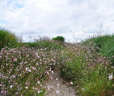 Gaura-Lindheimery-panorama-photo-CLos-du-Coudray