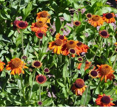 Helenium-Crimson-Beauty