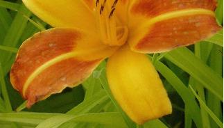 Hemerocallis-Frans-Hals-closeup-foto- yellow-and-orange-flowers-daglelie