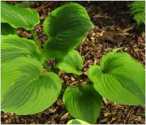 Hosta 'Abiqua Moonbeam'