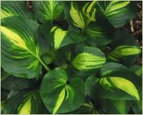 Hosta 'Center of Attention'