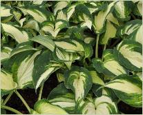 Hosta 'Ghost Spirit'