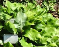 Hosta 'Harry van de Laar'