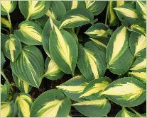 Hosta High Society'