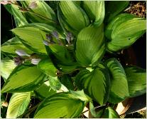 Hosta 'June' in pot
