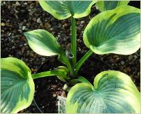 Hosta 'Knock Out'