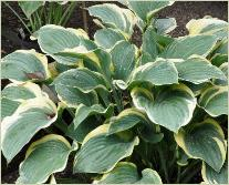 Hosta 'Regal Splendour'