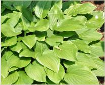 Hosta 'Sweet Susan'