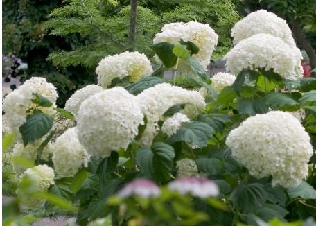 Hydrangea-arborescens-Incrediball-syn-Strong-Annabelle