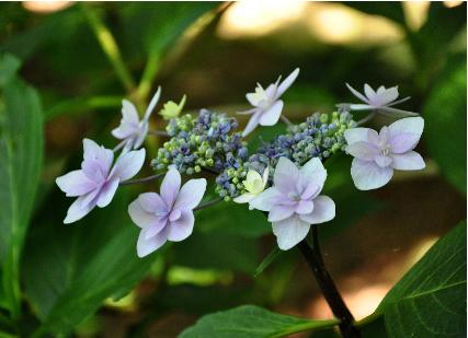 Hydrangea-macrophylla-Izu-Nr11-VN-Shamrock-collection-closeup-picture
