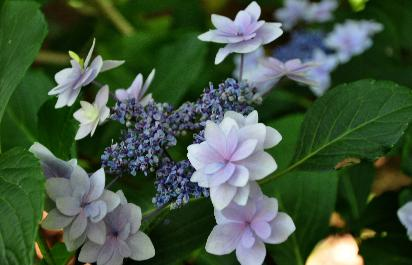 Hydrangea-macrophylla-Izu-Nr11-VN-Shamrock-collection-closeup-picture-2