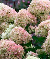 HydrangeapaniculataLittleLime