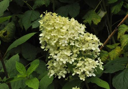Hydrangea paniculata 'Magical Moonlight' flowerclup