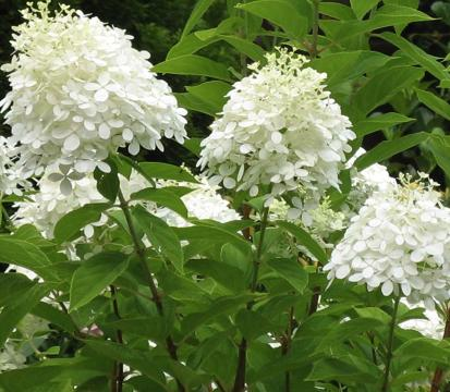 hydrangea paniculata 39 grandiflora 39. Black Bedroom Furniture Sets. Home Design Ideas