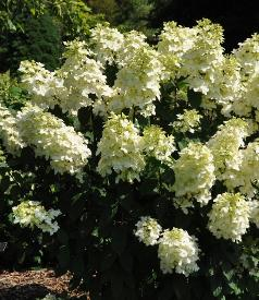 Hydrangea paniculata 'Pink Lady 'global picture augustVNN