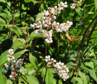Persicaria campanulata 'South Comp White' closeup