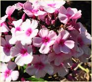 Phlox paniculata 'Bright Eyes' bloemen closeup