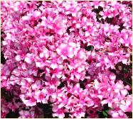 Phlox paniculata 'Natural Feelings' close