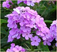 Phlox paniculata 'Nesperis' close