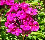 Phlox paniculata 'Othello'