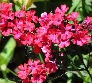 Phlox paniculata 'Star Fire' closeup flower vn