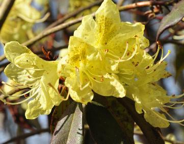 Rhododendron-lutescens-flower-closeup