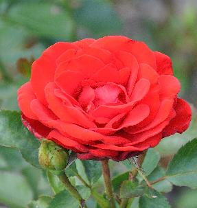 Rosa 'Rebel' Kordes 1996
