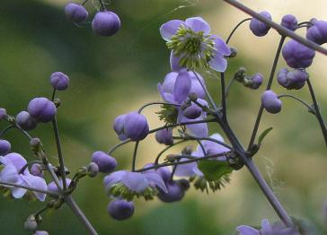 Thalictrum-chieledonii-closeup-bloemen