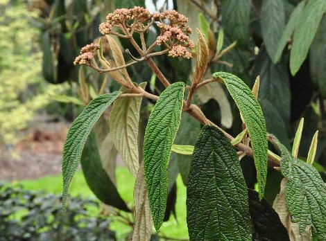Viburnum-rhytidophyllum-flowers-and-foliage-vnnn