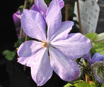 Clematis-Mrs-Cholmondeley-VNN