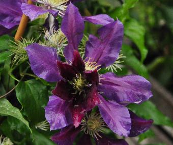 Clematis 'The Vagebond'