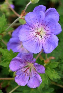 Geranium-Jolly-Bee-picture-taken-in-clos-du-coudray