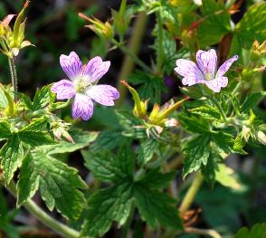 Geranium-x-oxonianum-David-Mc-Clintoch