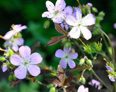 Geranium-expresso- lilac-flowers- nice-chocolate-leaves
