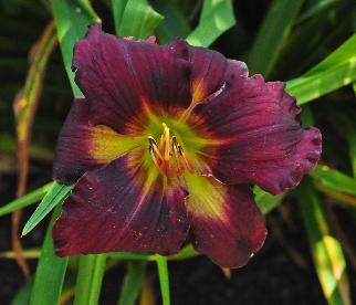 Hemerocallis 'All American Plum' closeupbloem