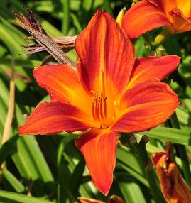 Hemerocallis 'Buzz Bomb' closeup bloem